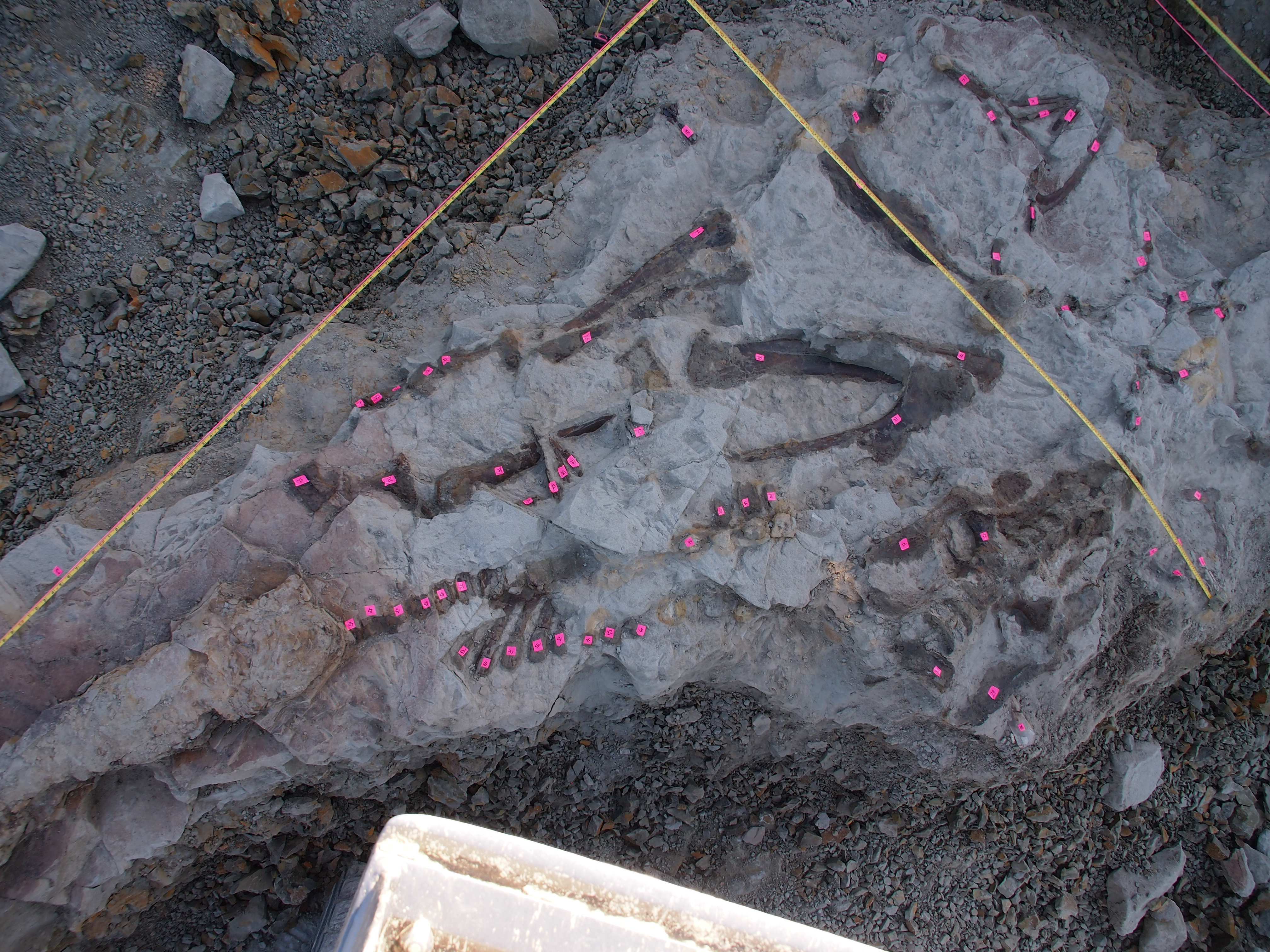 Hadrosaur skeleton discovered in 2018. Partially articulated with skin. Sub-adult edmontosaur from the Hell Creek Formation of Montana.